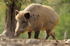 Big wild boar sow Royalty Free Stock Photography