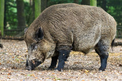 Big wild boar Royalty Free Stock Photography