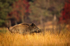 Big Wild boar, Sus scrofa, running in the grass meadow, red autumn forest in background, animal in the nature habitat, Germany Stock Photo