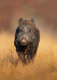 Big Wild boar, Sus scrofa, running in the grass meadow, red autumn forest in background Stock Image