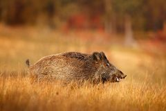 Big Wild boar, Sus scrofa, running in the grass meadow, red autumn forest in background, Germany Royalty Free Stock Photography
