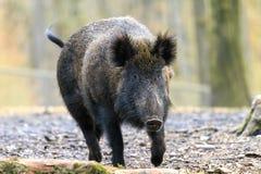 Big wild boar Veluwe Stock Photo