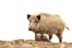 Big wild boar on white Royalty Free Stock Photography