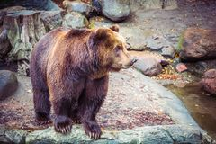 Big wild brown bear in forest on rock, dangerous animal in natural green background. stock image