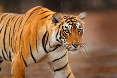 Big wild cat, endangered animal. End of dry season, beginning monsoon. Tiger walking in green vegetation. Wild Asia, wildlife Indi. A Stock Photo