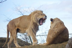 Big Wild Cats Stock Photos