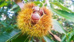 Big wild chestnuts close up on a brunch in an opened spiky shell growing on a tree stock photos