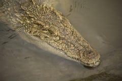 Big wild crocodile in Vietnam. Huge wild crocodile in river in Vietnam Royalty Free Stock Images