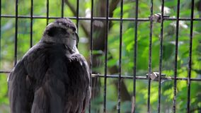 Big Wild Falcon in Cage stock video footage