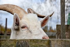 Big wild goat Royalty Free Stock Images