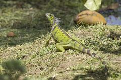Big Wild Green iguana. At Grand Cayman Islands royalty free stock images