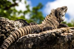 Big wild iguana sunbathing stock photos