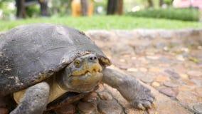 Big Wild Old Turtle Walking in Park. 4K. Big Wild Turtle Walking in Park. 4K stock video