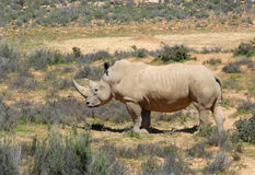Big Wild RHINO. Rhinoceros at National Park. South Africa royalty free stock photography