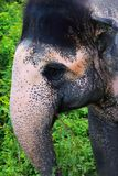 Big wild spotted elephant head with trunk close up in indian jungle safari. Stock Image