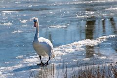 Swan walking on frozen lake Royalty Free Stock Photos