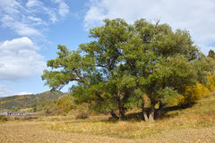 Big willow Stock Photos