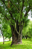 Big willow tree. Old willow tree growing from two trunks in the park royalty free stock photo