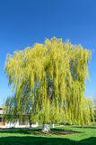 Big willow tree against blue clear sky. Big weeping willow tree against blue clear sky Stock Photography