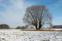 Big willow tree, snow on the meadow and blue sky. View in winter day royalty free stock image