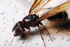 Big Winged Ant. A macro photo taken on a big winged ant royalty free stock images