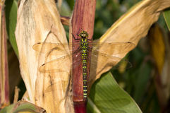 Big wings dragonfly siting on corn Royalty Free Stock Photography
