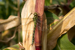 Big wings dragonfly siting on corn Royalty Free Stock Photos