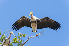The big wings spread of Asian Openbill stork (Anastomus oscitans)  bird Stock Photos
