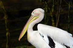 Big withe Pelican Royalty Free Stock Photography