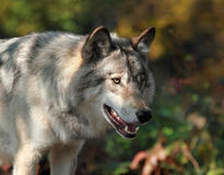 Big wolf during autumn Royalty Free Stock Image