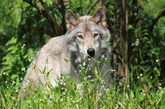 Big wolf in forest Stock Photography