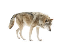 Big wolf isolated Stock Photo