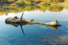 Big wooden log floating on the pond surface Stock Image