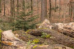 Woodpile of big trees in the forest. Big woodpile of big trees in the forest Stock Images