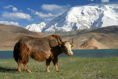 Big Yak. On the shore of Kara Kul lake in Karakorum China Royalty Free Stock Images