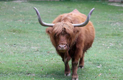 Big yak with long brown hair Stock Image