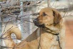 Big yard dog with a sad look stock photos