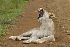 Big Yawn Royalty Free Stock Photos