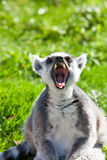 Big yawn. Ring tailed lemur relaxing and yawning in the autumn sun Royalty Free Stock Photos