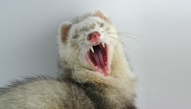 Big Yawn. Ferret in Mid yawn stock image
