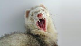 Big Yawn Stock Image