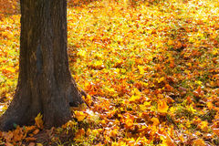 Big yellow autumn tree in a forest Royalty Free Stock Photography