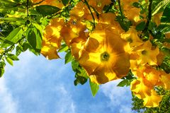 Big yellow Brugmansia royalty free stock photo