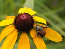 Big yellow with bug. Big bug on a bright yellow flower royalty free stock photos