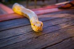 Big yellow burmese python crawling on the floor. At night stock photo