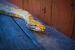 Big yellow burmese python crawling on the floor. At night royalty free stock images