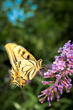 Big yellow butterfly Royalty Free Stock Photos