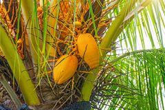 Big yellow coconuts hanging on Palme, tropical fruits ripen on the tree, the tropics,. Asia Royalty Free Stock Photos