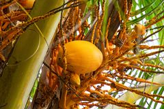 Big yellow coconuts hanging on Palme, tropical fruits ripen on the tree, the tropics,. Asia Stock Image