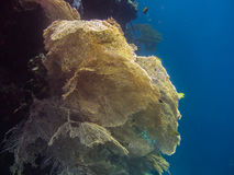 big yellow coral on the reef royalty free stock image